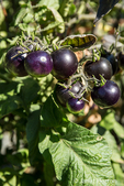 Indigo Ruby cherry tomatoes growing in Leavenworth, Washington, USA.