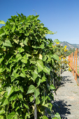 Pole beans growing in a vertical garden in the  E. Lorene Young Community Garden in Leavenworth, Washington, USA