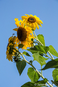 Sunflowers growing in the  E. Lorene Young Community Garden in Leavenworth, Washington, USA