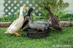 Four types of Indian Runner ducks (Anas platyrhynchos domesticus): White and Fawn, black, chocolate and blue.