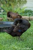 Black and chocolate Indian Runner ducks preening.