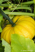 Yellow Pumpkin growing in Leavenworth, Washington, USA