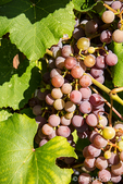 Grapes growing in Leavenworth, Washington, USA