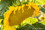 Large sunflower growing in Leavenworth, Washington, USA
