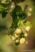 The Gold raspberry is similar in characteristics to the Red raspberry in all aspects except that it is gold in color with pink hues (which suggests it may have been originally bred from a Red raspberry).