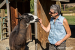 Woman feeding treats to her llama at the Purple Crayon Ranch in Leavenworth, Washington, USA