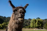LLama portrait at the Purple Crayon Ranch in Leavenworth, Washington, USA