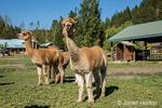 Three alpacas at the Purple Crayon Ranch in Leavenworth, Washington, USA