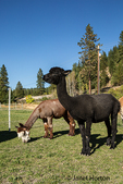 Two alpacas feeding in the pasture at the Purple Crayon Ranch in Leavenworth, Washington, USA