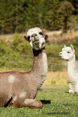 Two alpacas resting in the pasture at the Purple Crayon Ranch in Leavenworth, Washington, USA