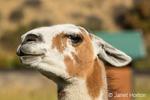 Alpaca portrait at the Purple Crayon Ranch in Leavenworth, Washington, USA
