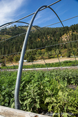 Uncovered greenhouse with Black King Eggplant growing at Oh Yeah! Farms organic farm in Leavenworth, Washington, USA