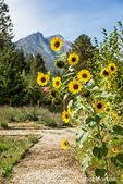 Helianthus 'Chrysanthemum flowered series' sunflowers growing along a path at the Sleeping Lady Mountain Resort garden in Leavenworth, Washington, USA