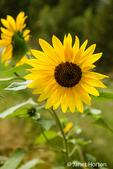 Close-up of Helianthus 'Chrysanthemum flowered series' sunflowers in Leavenworth, Washington, USA