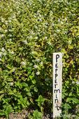 Peppermint plants growing in Leavenworth, Washington, USA