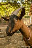Close-up of a Oberhasli or Swiss Alpine dairy goat in Leavenworth, Washington, USA.
