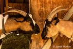 Alpine dairy goat in Leavenworth, Washington, USA.