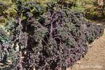 Row of Redbor Purple Kale growing in Leavenworth, Washington, USA.