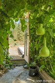 Speckled Swan Gourd, a bottle / birdhouse gourd, growing on an arbor in a greenhouse in Leavenworth, Washington, USA
