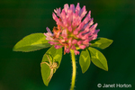Red Clover (Trifolium pratense) wildflower and spider taken in the backyard in a rural area near Galena, IL.