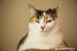 Portrait of Molly, a calico cat