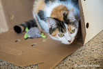 Molly, a calico cat, curiously peeking from inside her cardboard box hiding place