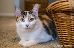 Molly, a calico cat, peeking out from behind a wicker basket, on a carpeted floor