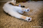 Molly, a calico cat, stretching on a carpeted floor