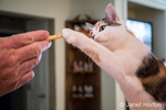 Molly, a calico cat, reaching for an offered cracker from a man