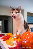 Molly, a calico cat, with her tongue out, hungrily anticipating a bite of cracker from her owner