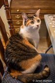 Molly, a calico cat, wondering if she will be allowed to stay on the chair she has just hopped up onto