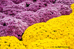 A display of more than 3,000 mums fill the Conservatory's outdoor Sculpture Courtyard with color in Autumn in the Franklin Park Conservatory and Botanical Garden in Columbus, Ohio