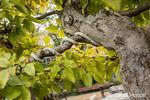 Korean Hornbeam (Carpinus turczaninovii) bonsai tree in the Franklin Park Conservatory and Botanical Garden in Columbus, Ohio.  It is 25 years old.