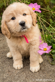 Cute seven week Goldendoodle puppy sitting by some pink Cosmos flowers in Autumn in Issaquah, Washington, USA