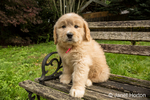 Cute seven week Goldendoodle puppy sitting on a rustic wooden bench in Issaquah, Washington, USA