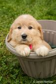 Cute seven week Goldendoodle puppy sitting in an empty plastic flower pot