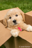 Cute seven week Goldendoodle puppy sitting in an empty cardboard box in Issaquah, Washington, USA