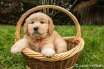 Cute seven week Goldendoodle puppy sitting in an empty wicker basket