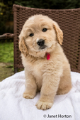 Cute seven week Goldendoodle puppy sitting on a white towel on a chair in Issaquah, Washington, USA