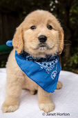 Cute seven week Goldendoodle puppy wearing a blue neckerchief in Issaquah, Washington, USA
