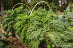 Curly (or curly-leaved, Scots, blue curled) Kale growing in a raised bed garden in Autumn in Issaquah, Washington, USA