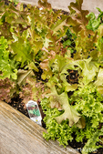 Gourmet salad blend lettuce growing in a raised bed garden in Issaquah, Washington, USA