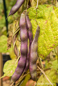 Violet Podded Stringless pole beans left to have the pods dry on the vine, for seed saving purposes, in an Autumn garden in Issaquah, Washington, USA