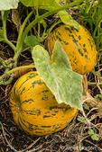 Kakai pumpkings growing in a garden in Issaquah, Washington, USA.