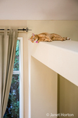Cat resting on a high exposed beam in a house in Issaquah, Washington, USA