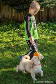 Seven year old boy playing tug with a ten week old Goldendoodle puppy in Issaquah, Washington, USA