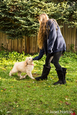 Ten week old Goldendoodle puppy tugging on the sweatshirt sleeve of a ten year old girl in Issaquah, Washington, USA