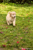 Ten week old Goldendoodle puppy playing in his yard in Issaquah, Washington, USA