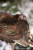 Wild Turkey in the snow in Issaquah, Washington, USA