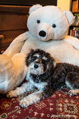 "Seven month old Schnoodle puppy ""Junho"" sitting in front of a large stuffed bear, in Issaquah, Washington, USA.  Schnoodles are a mix between a Schnauzer and a Poodle."